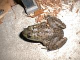 1999-10-17.pond.bullfrog.patio.close_shot_macro.1.redford.mi.us.jpg