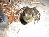 1999-10-17.pond.bullfrog.patio.close_shot_macro.3.redford.mi.us.jpg
