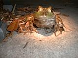 1999-10-17.pond.bullfrog.patio.close_shot_macro.5.redford.mi.us.jpg
