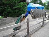 2006-06-02.peacock.fence.detroit_zoo.mi.us.jpg
