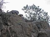 2007-11-17.canyon_return_ascent.bright_angel_trail.113.big_horn_sheep.grand_canyon.az.us.jpg