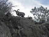 2007-11-17.canyon_return_ascent.bright_angel_trail.115.big_horn_sheep.grand_canyon.az.us.jpg