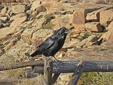 2007-11-18.raven.newspaper_rock.petrified_forest.01.holbrook.az.us.jpg